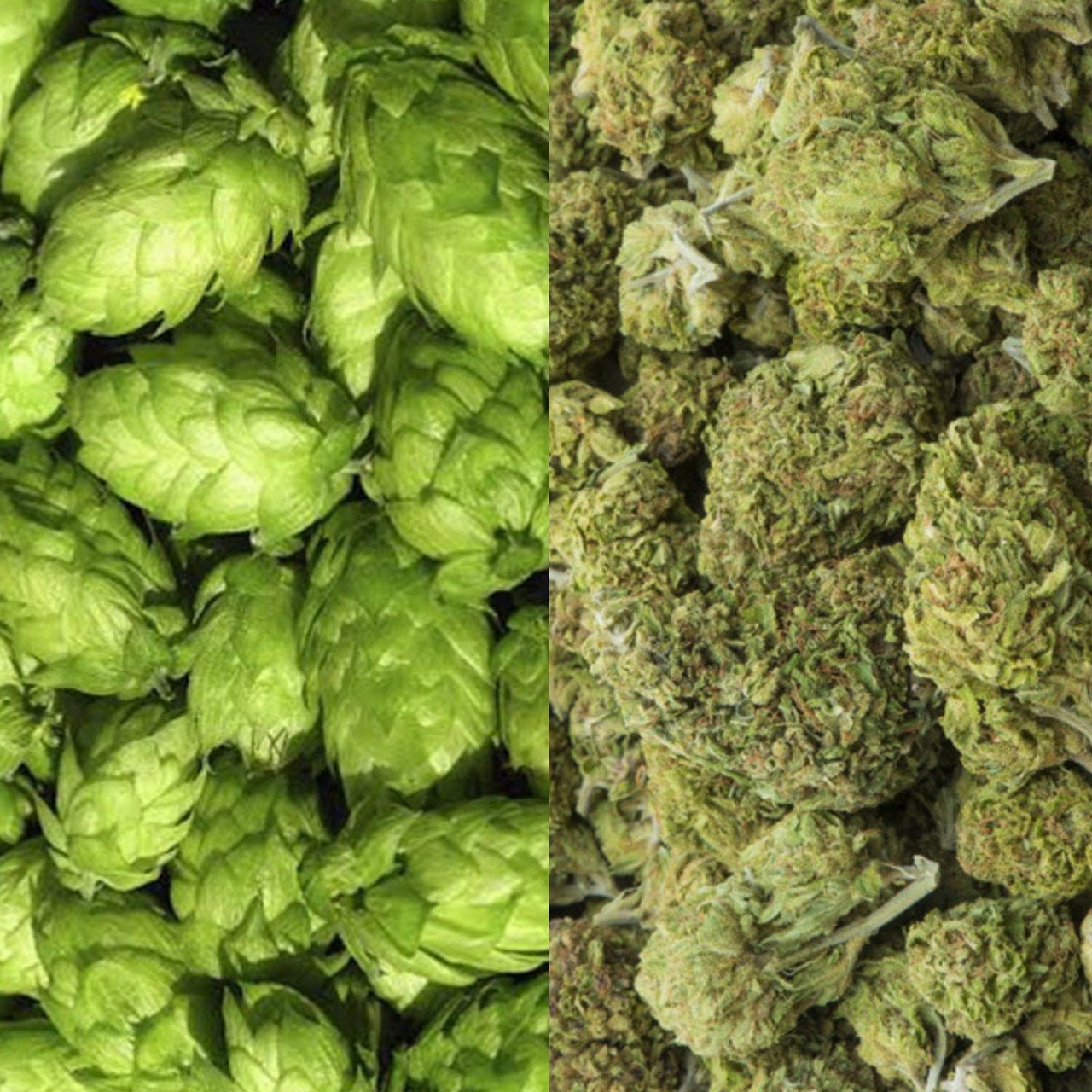 Beer vs. Marijuana: The Battle Royale of Partying